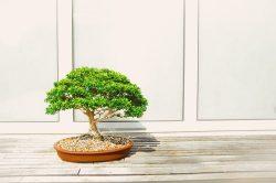 Comment entretenir un bonsaï d'intérieur ?